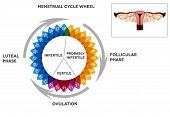 stock photo of ovary  - Menstrual cycle calendar - JPG