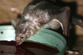 stock photo of vampire bat  - Vampire Bat drinking some blood from a bowl taken with macro lens. Scientific name - Desmondus rotundus.