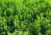 stock photo of alfalfa  - Lucerne  - JPG
