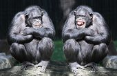 pic of primitive  - Two chimpanzees have a fun - JPG