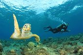 image of hawksbill turtle  - Hawksbill Sea Turtle and Scuba diver - JPG
