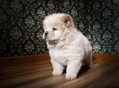 Puppy Chow-chow In A Retro Room poster