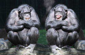 picture of cognitive  - Two chimpanzees have a fun - JPG