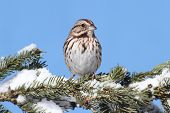 Постер, плакат: Sparrow In Snow