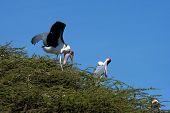 pic of intercourse  - Marabou Stork  - JPG
