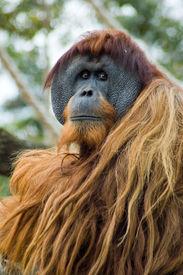 stock photo of sad face  - This Orangutang looks so sad - JPG