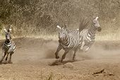 Постер, плакат: Herd Of Zebras Gallopping