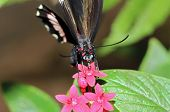 picture of postman  - Red Postman Butterfly  - JPG