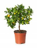image of tangerine-tree  - tangerine tree in the pot on the white background - JPG