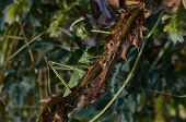 stock photo of locust  - Locusts eat of green leaves of plants - JPG