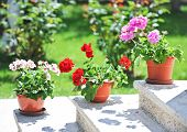 Постер, плакат: Outdoor flowerpots Pink and red flowers in pots on ledge Geraniums in pots on outside steps