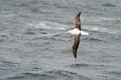 picture of albatross  - Southern Royal Albatross in flight above water surface - JPG