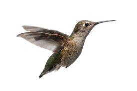 picture of hummingbirds  - Female Annas Hummingbird  - JPG