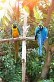 pic of sun perch  - Two beautiful adult blue and yellow macaw perched on a wooden post basking in the sun - JPG