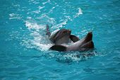 picture of bottlenose dolphin  - Two dolphins close up - JPG