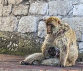 picture of gibraltar  - Barbary Macaque feeding the baby near a rock wall in Gibraltar - JPG