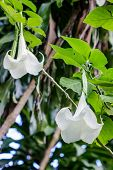foto of angel-trumpet  - Angel trumpet flower in full bloom Datura - JPG