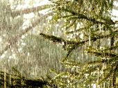image of rainy day  - rainy day in the pine forest with big rain drops - JPG