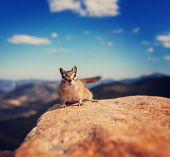 pic of chipmunks  - chipmunk - JPG