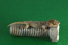 picture of hemidactylus  - One Small Gecko Lizard and Screw on a Colored Background - JPG