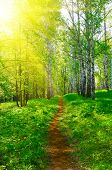 image of birching  - Pathway at spring sunny birch forest - JPG