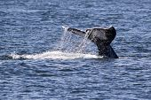image of whale-tail  - Water trailing off of a A Gray Whale fluke in the Puget Sound - JPG