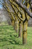 pic of apple orchard  - Apple orchard in the spring season - JPG