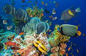 image of fire coral  - Tropical Fish and Coral Reef on Red Sea - JPG