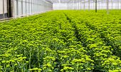 image of horticulture  - Large number of chrysanthemum plants with lots of buds and light green flowers in a Dutch greenhouse horticulture company specialized in cut flowers - JPG