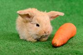 stock photo of cony  - newborn little rabbit eating a carrot on a green background - JPG