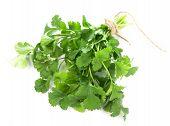 image of cilantro  - Coriander  fresh greens  cilantro  cilantroisolated on the white - JPG