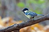picture of tit  - The great tit sitting on the branch - JPG
