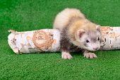 image of ferrets  - young animal rodent ferret on a green background - JPG