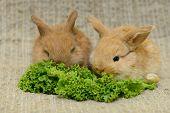 pic of cony  - tweo newborn little brown rabbit with long ears - JPG