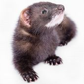 image of ferrets  - small animal rodent ferret on a white background - JPG