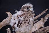 foto of driftwood  - young chick hawk sitting on a wooden driftwood on a black background - JPG