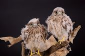 image of driftwood  - two young chick hawk sitting on a wooden driftwood on a black background - JPG