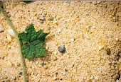 pic of ivy vine  - close up green ivy on sand for natural background - JPG