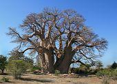 stock photo of sub-saharan  - Giant baobob tree in Botswana - JPG