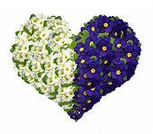 image of primrose  - Flower heart from primrose isolated on white background - JPG