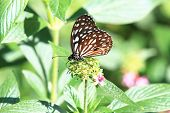 picture of blue butterfly  - Blue Spotted Milkweed butterfly and flowers - JPG