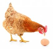 stock photo of laying eggs  - Isolated brown hen with egg in the studio - JPG