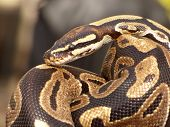 stock photo of snake-head  - Brown snake looking into camera close up  - JPG