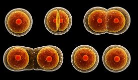 stock photo of zygote  - Process division of cell - JPG