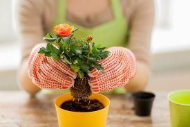 picture of rose flower  - people - JPG