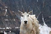picture of beartooth  - Mountain goat near Granite Peak - JPG