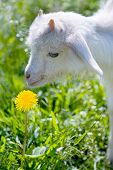 foto of pygmy goat  - The motorcyclist on a white background and a dandelion - JPG