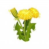 Dandelion With Bright Yellow Flowers And Green Leaves. Wild Plant. Nature And Botany Theme. Flat Vec poster