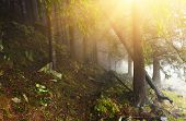 Conifer Forest With Sunrays In Misty Day poster
