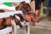 Juvenile Goat Kids Behind White Fences. Domestic Goats, One Of The Oldest Domesticated Animals, Have poster